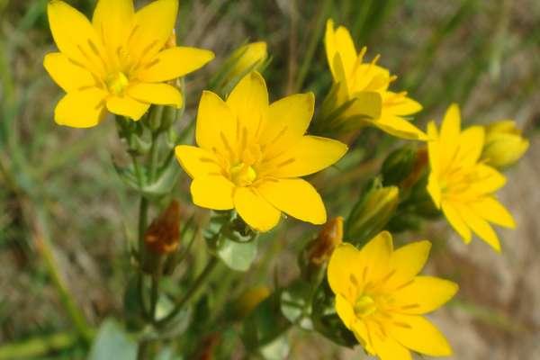Fleur De Bach Agrimony Pour Chien Surexcite Joyeux Dociles