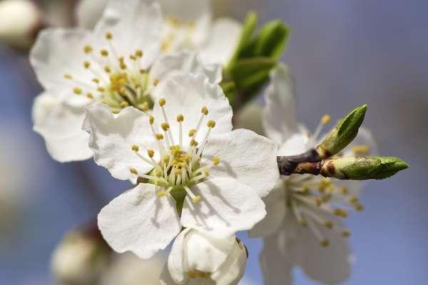 Fleur De Bach Cherry Plum Pour Les Chiens Agressifs Descriptions