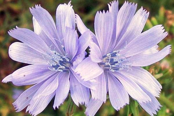 Fleur De Bach Chicory Pour Les Chiens Dependant De Leurs Maitres