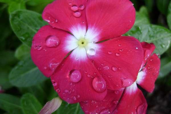 Fleur De Bach Impatiens Pour Chiens Qui Sont Impatients Agressifs
