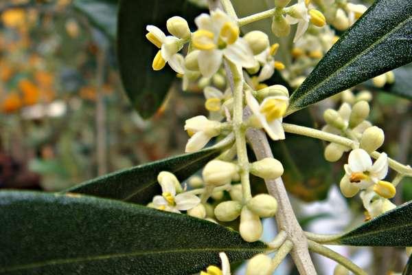 Fleur De Bach Olive Pour Chiens Epuises Fatigues A Bout De Force
