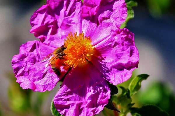Fleur De Bach Rock Rose Pour Les Chiens Paniques Effrayes Paralyses