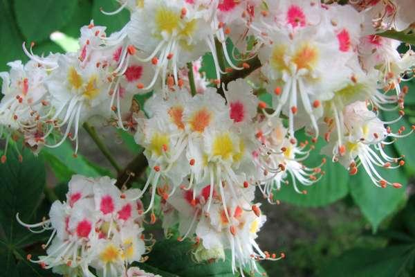 Fleur De Bach White Chestnut Pour Chiens Preoccupe Anxieux