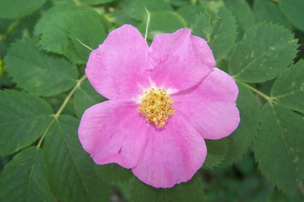 Fleur De Bach Wild Rose Pour Chiens Qui Se Laisse Mourir