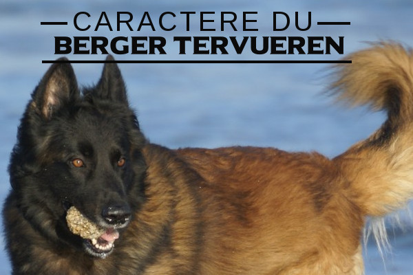 le berger belge tervueren   caract u00e8re de la race