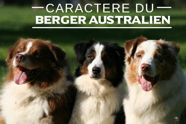 le berger australien   caract u00e8re de la race