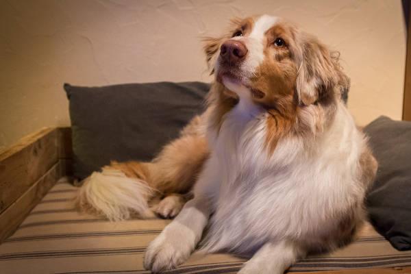 apprendre à son chien couché