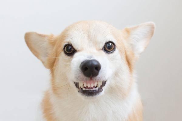 """Résultat de recherche d'images pour """"agressivite chien"""""""
