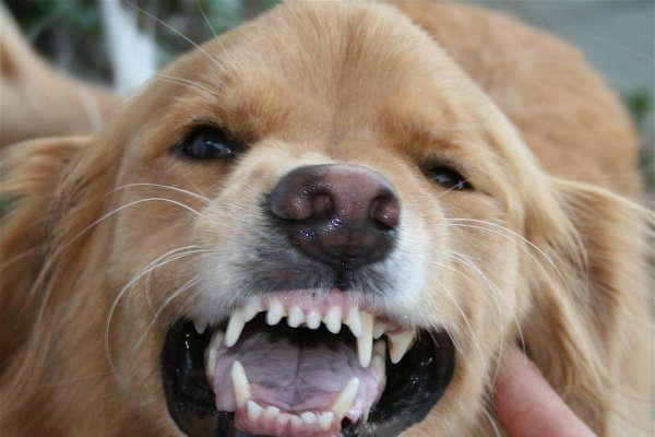 Maladies des dents chez le chien
