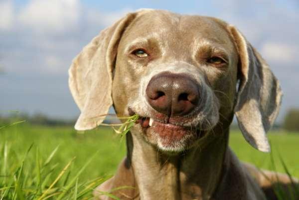 Le chien se purge-t-il en mangeant de l'herbe?