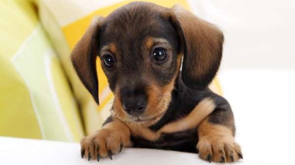 La parvovirose chez le chien