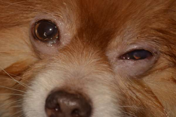 Maladies des yeux du chien for Interieur yeux