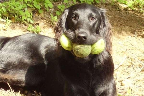 Apprendre au chien attraper et ramener la balle for Race de coq qui ne chante pas