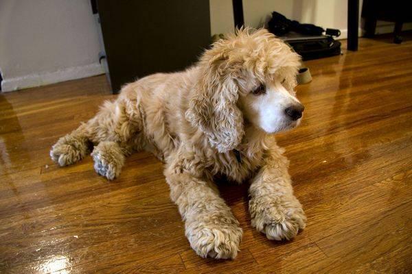 chien qui perd peu de poils