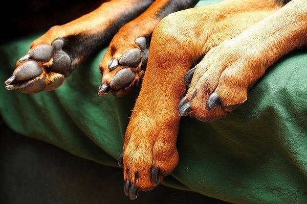 Mon chien boite pourquoi - Image patte de chien gratuite ...