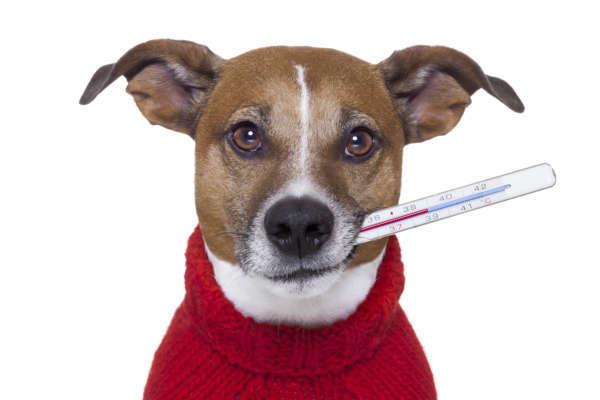 Un chien avec une truffe chaude, a-t-il de la fièvre?