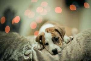 tout sur les chiens un site pour les amoureux des chiots et chien. Black Bedroom Furniture Sets. Home Design Ideas