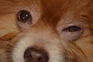 La sant du chien maladie soins quotidiens et pr ventifs for Interieur yeux rouge