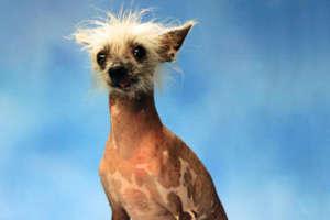 Chien Le Plus Laid les chiens les plus moches au monde