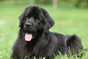 les meilleurs chiens pour la famille. Black Bedroom Furniture Sets. Home Design Ideas