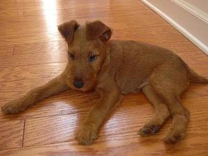 terrier chien de race standard identit 233 caract 233 ristiques photo